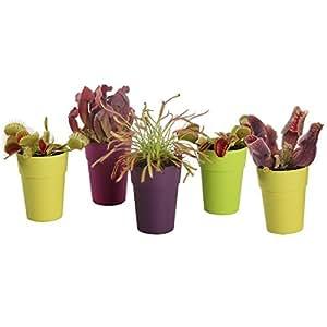 Mezcla de plantas carnívoras Swampworld - 5 plantas