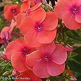 Phlox paniculata ''Coral Flame'' (3 roots), Summer Phlox (Plant/ Root)