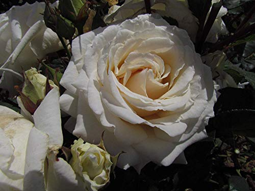 (IDEA HIGH Daniel - Bareroot Hybrid Tea Garden Rose Bush - Very Attractive White Blooms with a Pale Pink Centre - Strong Fragrance, Exclusive!)