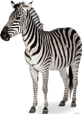 Zebra - Advanced Graphics Life Size Cardboard Standup by Advanced Graphics