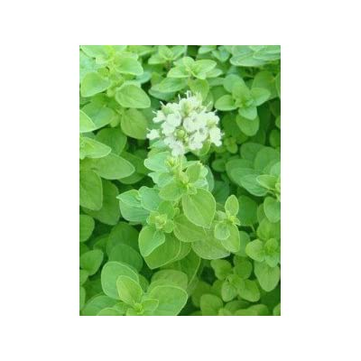 Clovers Garden Sweet Marjoram Herb Plants- Non GMO- Two (2) Live Plants - Not Seeds -Each 4