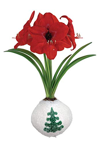 - Frosty Tree Glitter Wax Amaryllis Bulb - No Soil/Water Needed to Bloom