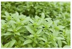 875mg Thai Basil Seeds ~ 600ct ~ Spicy Strong Herb for Thai /& Vietnamese Cuisine
