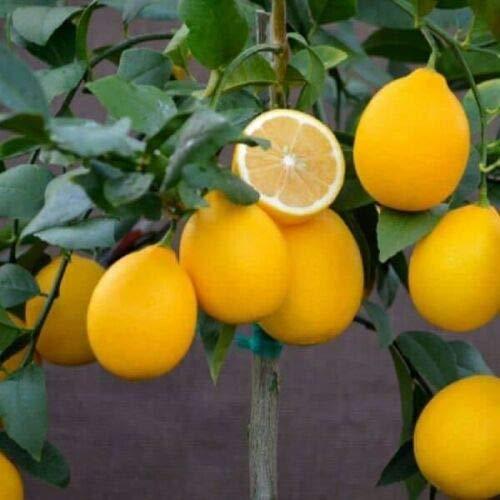 5 Fresh Cuttings Dwarf Meyer Lemon Tree Live Plant