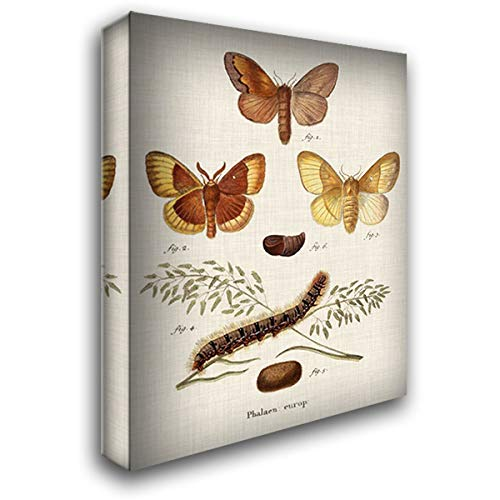 Life Cycle of a Moth I 32x40 Extra Large Gallery Wrapped Stretched Canvas Art by Esper, Johann