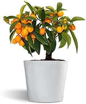 Fortunella hindsii - kumquat naranjo enano - cítrico de interior ...