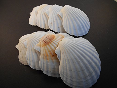 - 48 Large White Irish Baking Scallops (4-5