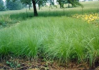 (Sporobolus heterolepis Prairie Dropseed 500 seeds)