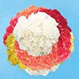 GlobalRose 400 Color Carnations - Fresh Flowers Wholesale Express Delivery