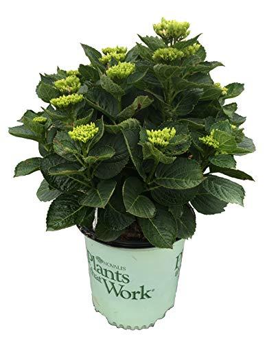 (Plants That Work Everlasting Revolution Hydrangea - Hydrangea M. Everlst Revolution - 2 Gallon)