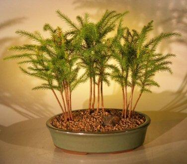 Norfolk Island Pine Bonsai Tree Three Tree Forest Group