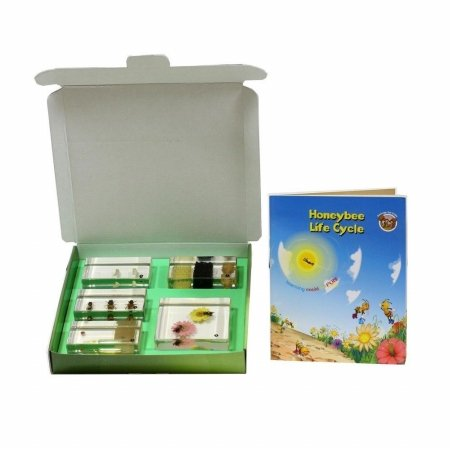 Ed Speldy East Company BFK1104 Biology For Kids, Honey Bee Life Cycle, 5 Piece