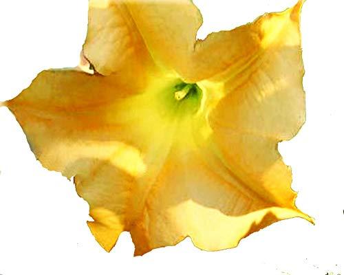 - Golden Yellow Brugmansia Plant Angels Trumpet Large Unusual Fragrant Flower 4 Inch Starter Plant Emeralds TM