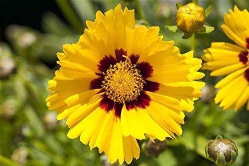 Mädchenauge Sonnenkind-Coreopsis grandiflora