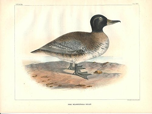 Black-headed duck Vieillot c.1855 fine antique color bird (Black Headed Duck)