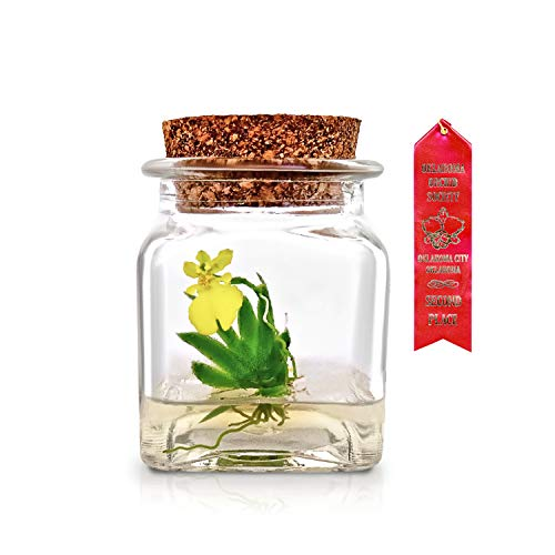 Award Winning, Maintenance Free Orchid Terrarium — Psygmorchis Pusilla — Miniature, No Green Thumb Necessary, Great for Work, Home, Unique Gift! Restock Everyday