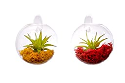 Hinterland Trading Red and Amber Living Wall Glass Terrariums, 5 Inch
