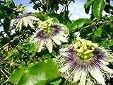 12 Seeds Purple Granadilla, Passion Fruit, Bat Leaved Passion Flower, (Passiflora edulis)