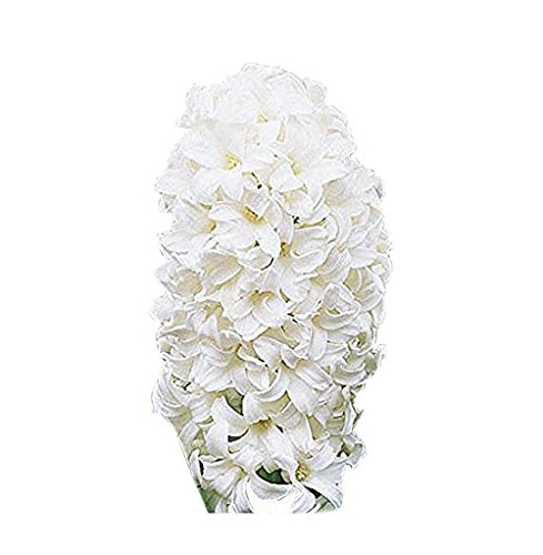 5 Snow Drift White Hyacinth ()