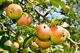 1 Bare Root of Anna Apple Tree 4-5'