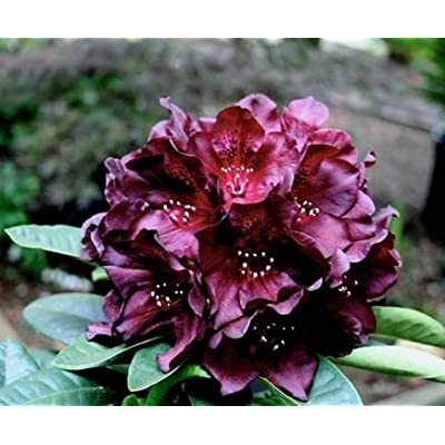 "Rhodoednron Black Widow - Grow to 3 feet - Dark Maroon, Almost Black Bloom (Foliage 12-15"" Wide(Three Gallon)) : Garden & Outdoor"