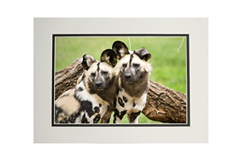 (African Wild Dogs (11x14 Double-Matted Art Print, Wall Decor Ready to Frame))