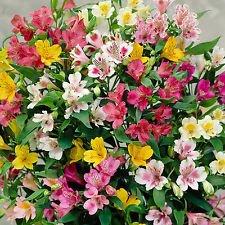 (NEW! 25+ ALSTROEMERIA DR. SALTERS MIX FLOWER SEEDS / PERUVIAN LILY / PERENNIAL)