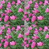 Seeds Viper's Bugloss Echium Plantagineum Rose Bedder get 50 Seeds