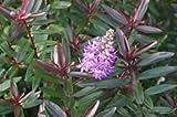 1 Starter Plant of Hebe 'Mrs. Winder' - Hebe 'Warleyensis'