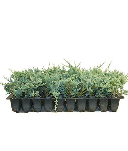 Blue Rug Juniper Qty 10 Live 2″ Plants Evergreen Groundcover