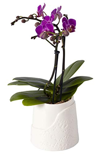 Color Orchids Live Blooming Double Stem Phalaenopsis Orchid Plant in Ceramic Lace Pot, 15