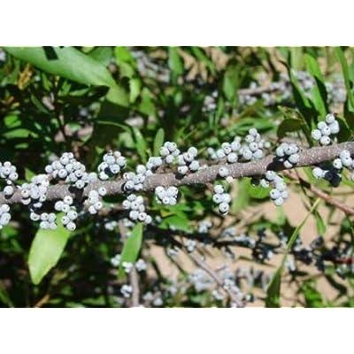 Cheap Fresh Myrica Cerifera Southern Wax Myrtle Seeds Native Get 5 Seeds Easy Grow #GRG01YN : Garden & Outdoor