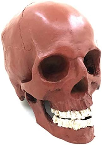 Medical Anatomy Anatomical Human Skull Anatomical Model Shows Most Major Foramen Fossa and Canals - Includes Full Set of Teeth Resin Skull 16x17x11cm