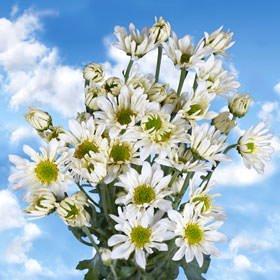 Amazon globalrose 72 fresh cut white chrysanthemum daisy globalrose 72 fresh cut white chrysanthemum daisy flowers fresh flowers for birthdays weddings or mightylinksfo
