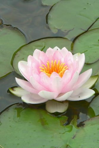 Amazoncom 10 Light Pink Lotus Water Lily Pad Nymphaea Sp Pond