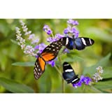 Three Colorful Butterflies On Blossoms In Spring Oregon Usa Canvas Art - Craig Tuttle Design Pics (19 x 12)