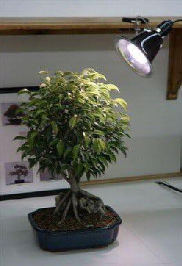 Amazon Com Bonsai Boy Live Bonsai Plants Green Bonsai Plants Garden Outdoor