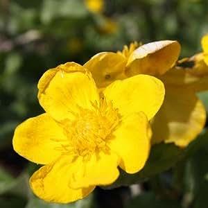 sumpfdotterblume - caltha Palustris - PLANTA ACUÁTICA