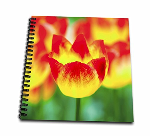 3dRose Alexis Photography - Flowers Tulip - Beautiful bowl of a yellow and red tulip flower. Magic of spring - Memory Book 12 x 12 inch (Tulip Magic)