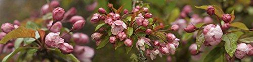 Close-up of Cherry blossom buds Poster Print