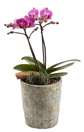 Color Orchids AMZ9101SE Live Double Stem, 15
