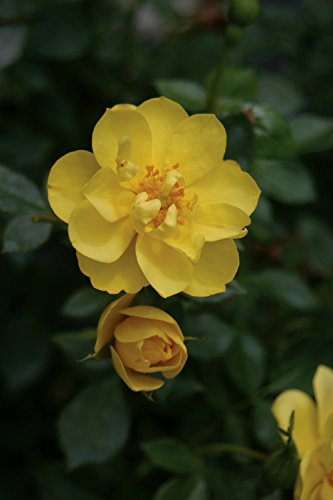 3 Gal. Oso Easy Lemon Zest Landscape Rose (Rosa) Live Shrub, Yellow Flowers by Proven Winners (Image #1)