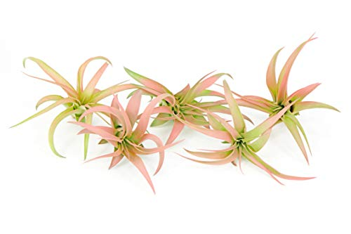 5 Live Air Plants | Colorful Peach Tillandsia Air Plant Pack | Real Houseplants for Terrariums | Easy Indoor Airplant Decorations by Plants for Pets