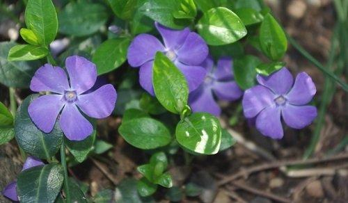 40+ Vinca Orchid Periwinkle Flower Seeds / Annual