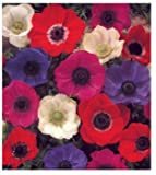 10 Mixed Color DeCaen Anemone Flower Bulbs, windflowers