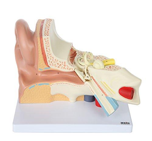 ear anatomy model - 9
