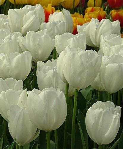 10 Hakuun White Tulip Bulbs Tulipa Quality Blooming Size 12+ cm Fall Planting by thecountrygardenshop