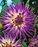 "Cactus dahlia "" Veritable"" ( 2 Tuber ), Great Cut Flowers"