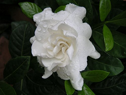 Gardenia Mystery Qty 30 Live Plants Flowering Shrub by Gardenia Mystery (Image #1)