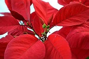 Red Poinsettia, Euphorbia pulcherrima - 2 Gallon - 5 Pack